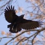 crow_2